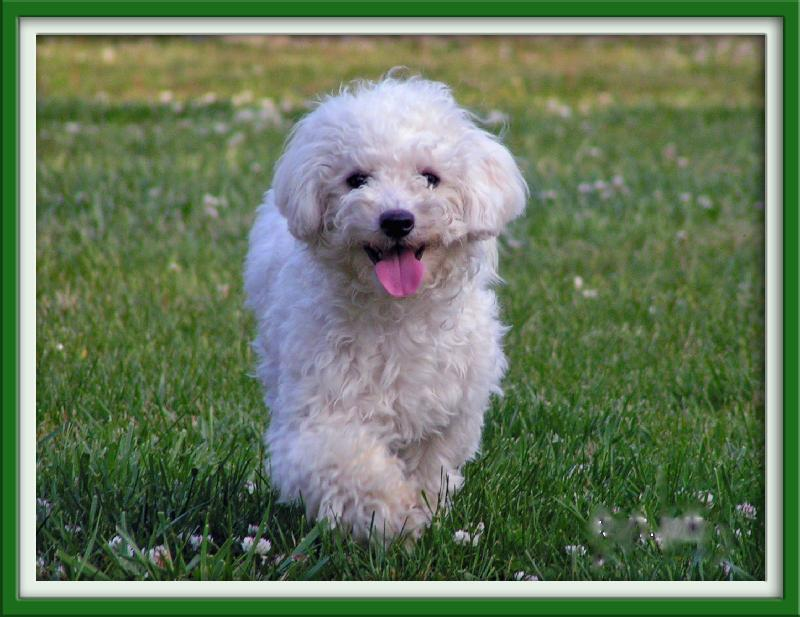 Shih Tzu Bichon Mix Full-Grown