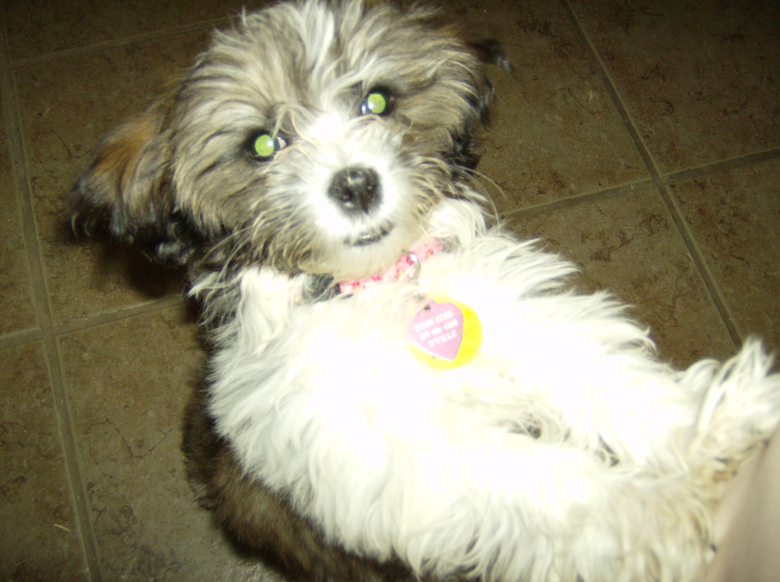 Shichon puppies for sale in kentucky - Shichon Puppies For Sale In Kentucky 50
