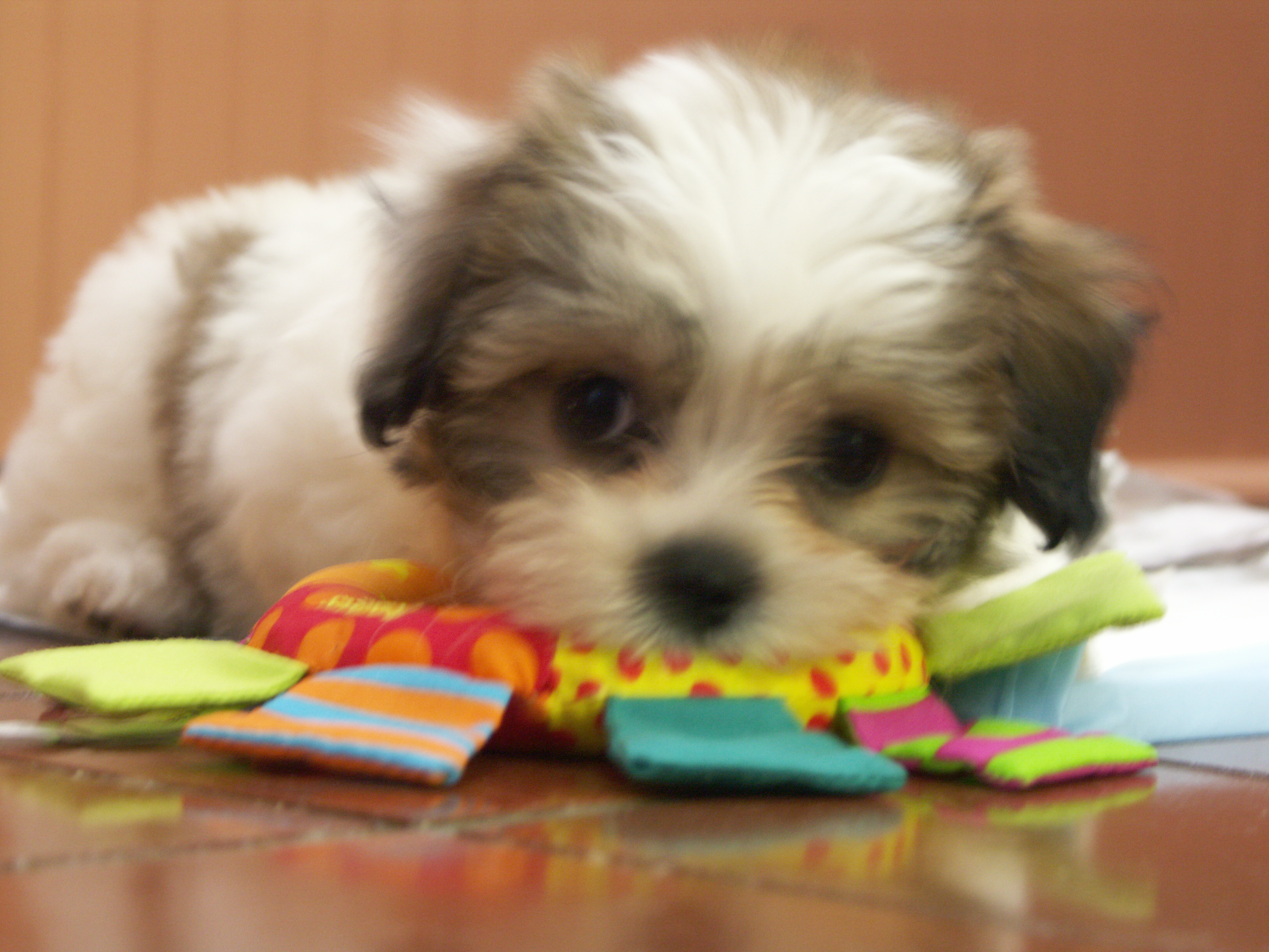 Shichon puppies for sale in indiana - Shichon Puppies For Sale In Indiana 10
